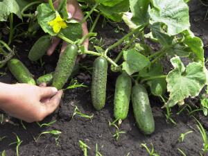 как выбрать овощи_огурцы