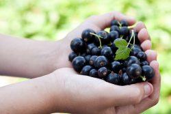 Черная смородина: польза и вред для здоровья детей