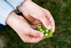 Зеленый горошек в рационе ребенка: польза и вред